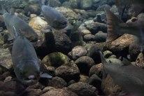 Wild Salmon 2